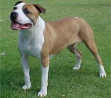 AMERICAN STAFFORDSHIRE TERRIER (PIT BULL)